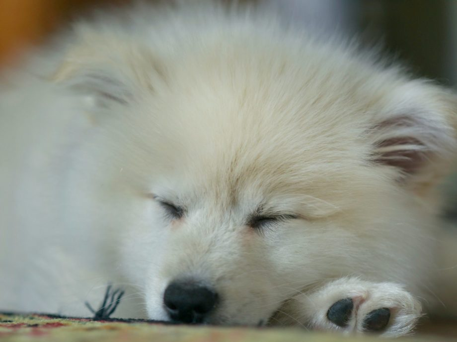 white long haired dog asleep showing nose and paw